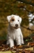 Parson Russell Terrier Charly