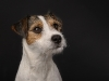 Parson Russell Terrier Elly