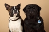 Boston Terrier Skylla und Mops Poldi